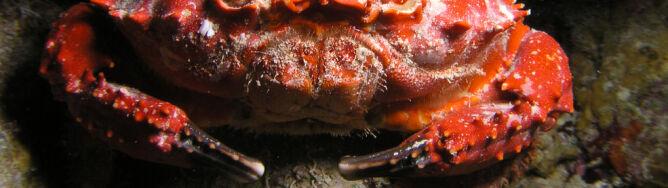 Koalicja krabów i krewetek broni koralowców przed wygłodniałymi rozgwiazdami