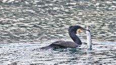 Zgoda na odstrzał 140 kormoranów. Wnioskowano o 300 sztuk