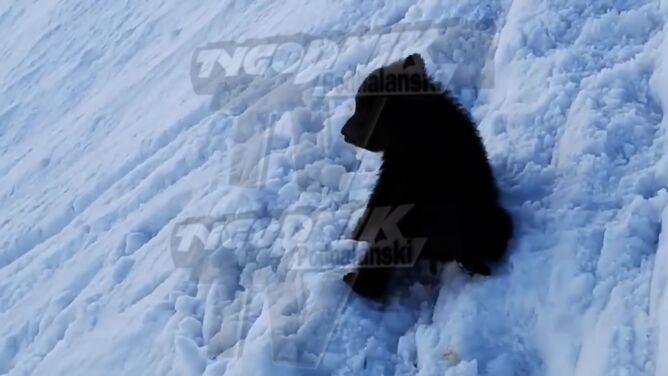 Niedźwiadek sturlał się <br />ze stromego stoku wprost na szlak