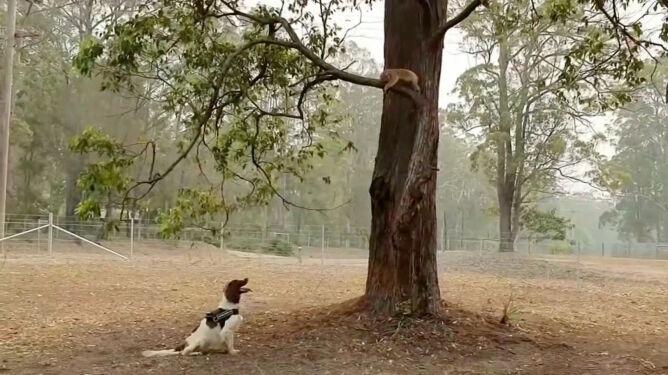 Taylor - pies, który ratuje koale